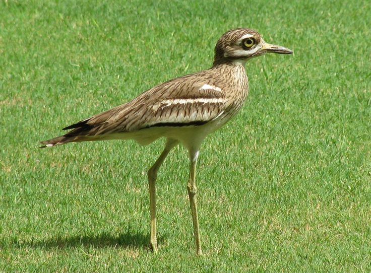 Indian Thick-knee aka Indian Stone-curlew  (Burhinus indicus) by Rahul Sheel.