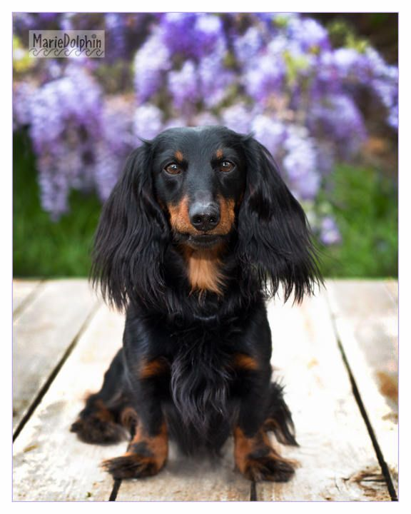 Little Long Hair Dachshund Dog On Wooden Platform By Beautiful