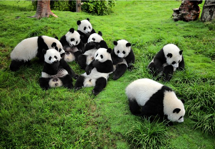 The giant panda lives in a few mountain ranges in central China, mainly in Sichuan province, but also in neighbouring provinces, namely Shaanxi and Gansu. http://vacationandtripplanning.blogspot.in/2015/11/7-best-places-to-visit-in-china.html