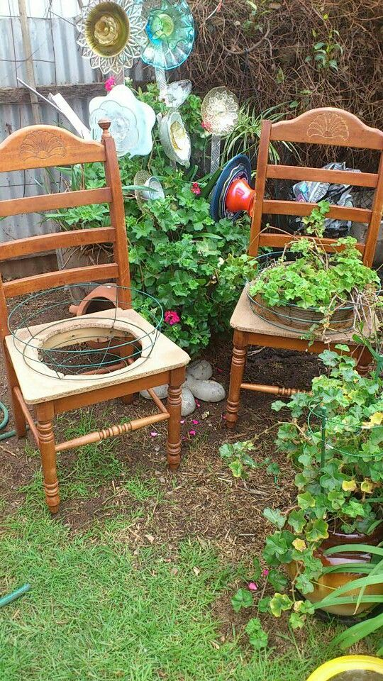 Found two wooden chairs tossed by the side of the road, taken home to make chair planters with climbing geranium.