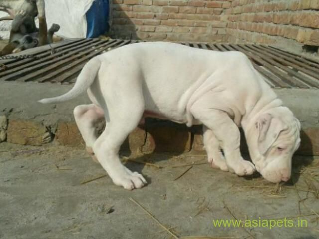 Pakistani Bully Puppies For Sale In Gurgaon On Best Price Asiapets