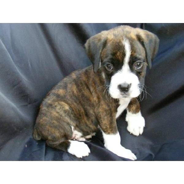 brindle boxer <3...I love these dogs. They're adorable forever! my dog still has that sad puppy face.