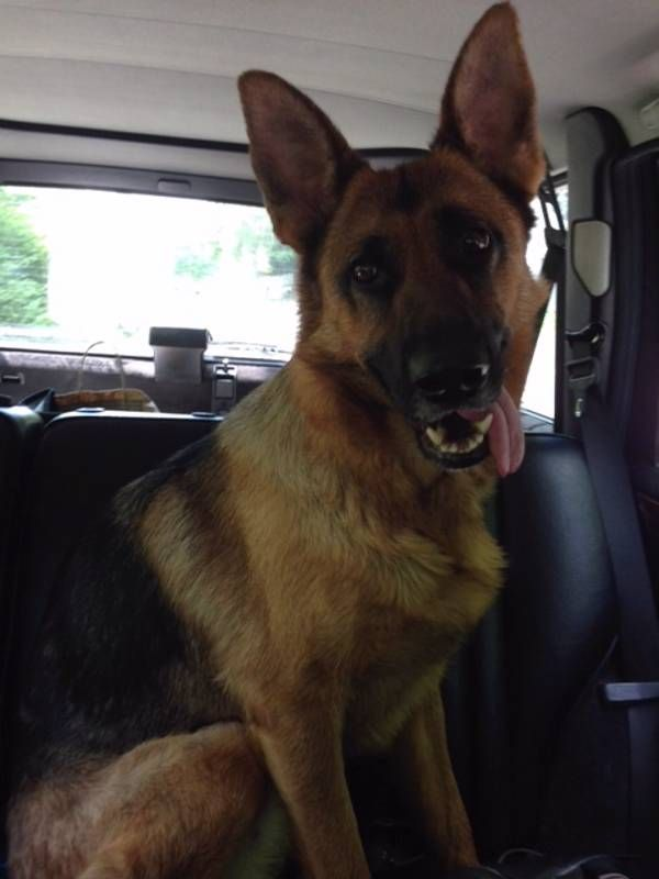 Found Dog - German Shepherd in OXFORD, CT Pet Name:unknown (ID# 57546) Gender:Female Breed:German Shepherd Color:Black Color 2:Tan/Cream Pet Size:Medium (20-39lbs) Pet Age:around 2 or 3 Date Found:05/27/2014 Zip Code:06478 (OXFORD, CT) See All Found Dogs In OXFORD, CT