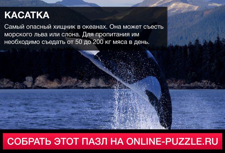 ☝  Самый опасный хищник в океанах. Она может съесть морского льва или слона. Для пропитания им необходимо съедать от 50 до 200 кг мяса в день.