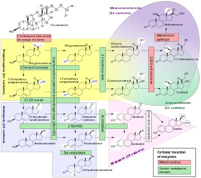 Steroid Hormone Pathway -See how to lower cholesterol naturally at: http://vitamins.vitanetonline.com/