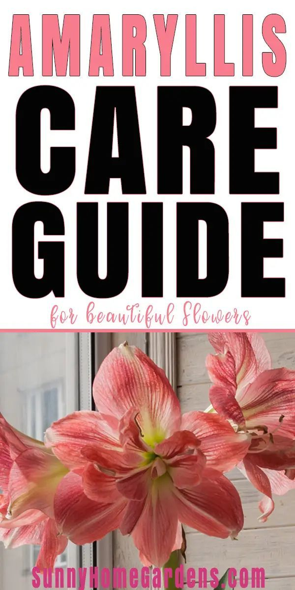 How To Grow And Care For Amaryllis In 2020 Amaryllis Care Amaryllis Bulb Flowers