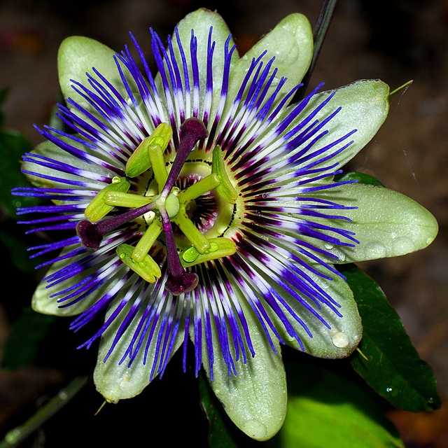 Passion Flower - Passiflora
