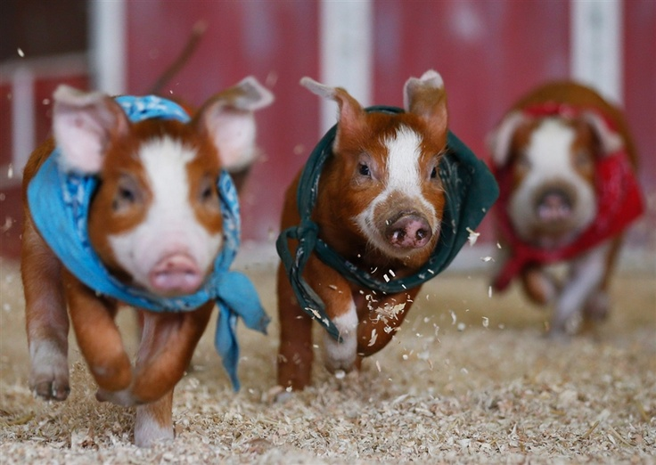 LA County Fair marks 90th year with kids, pigs, and cotton candy - PhotoBlog