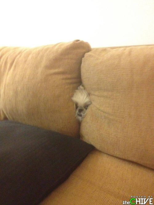 I. Am. Stuck.: Funny Dogs, Funny Humor, Scary Movies, Peekaboo, Watches Tv, So Funny, Peek A Boo, Can'T Stop Laughing, Couch Cushions