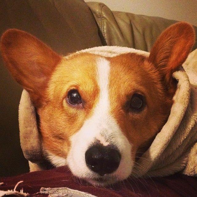 Bunny Burrito #puppy #cute
