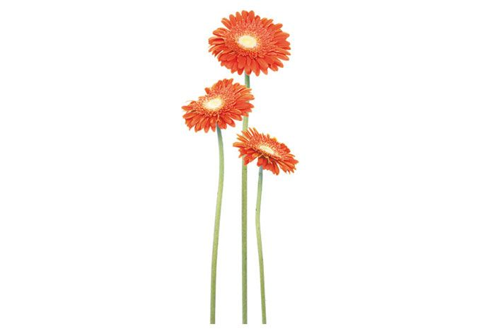Wandtattoo Gerbera Bundle Orange