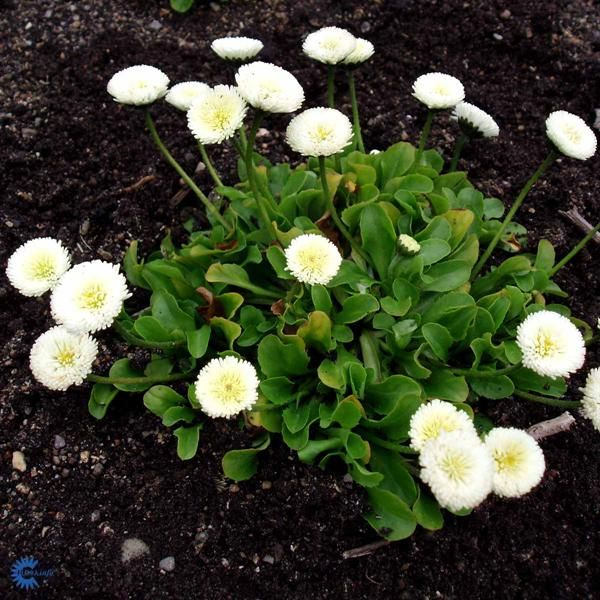 Tusindfryd - Bellis perennis Alba - Florashop.dk