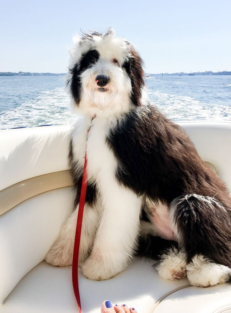 A Seminole Sheepadoodle living in forever home in Florida