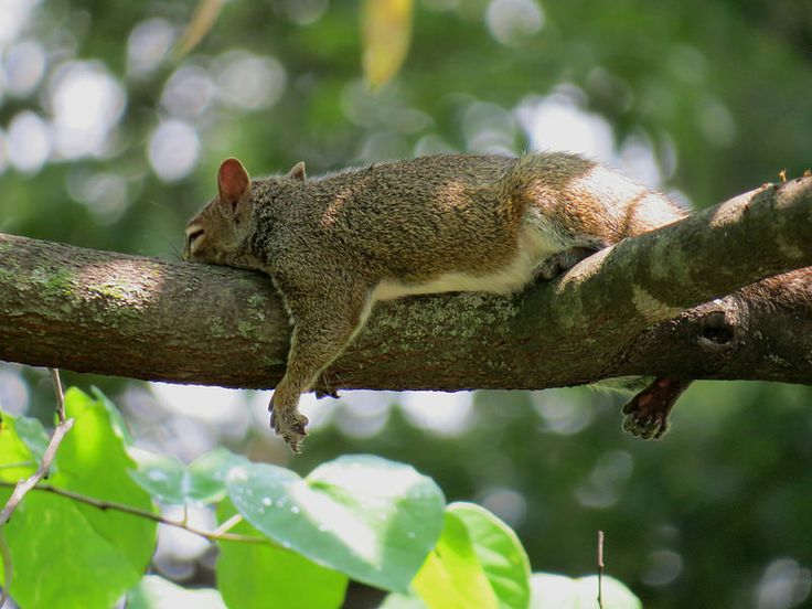 Eastern Gray Squirrel: Napping