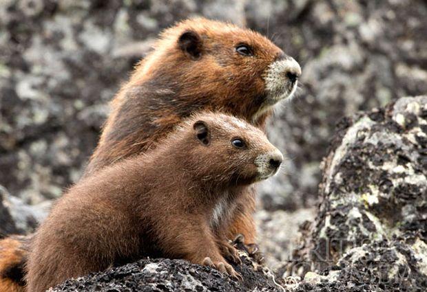 Vancouver Island marmots