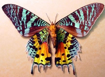 The Madagascan sunset moth or simply sunset moth, is a day-flying moth. It is considered to be one of the most impressive and beautiful Lepidoptera.  It is very colourful, though the iridescent parts of the wings do not have pigment