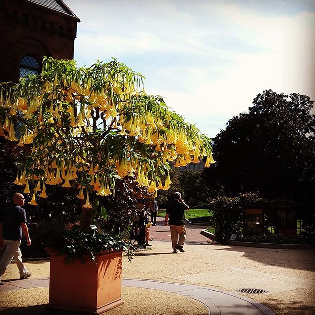 The giant Angel's Trumpet (Brugmansia 'Charles Grimaldi') on the west side of the Smithsonian Castle is putting on a fantastic show. Be sure to check it out before we ship it back to the greenhouses for the winter next week!