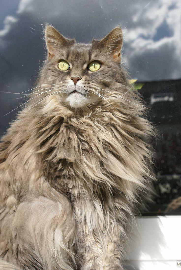 British Shorthair Cinnamon Kitten For Sale Near Me British Shorthair