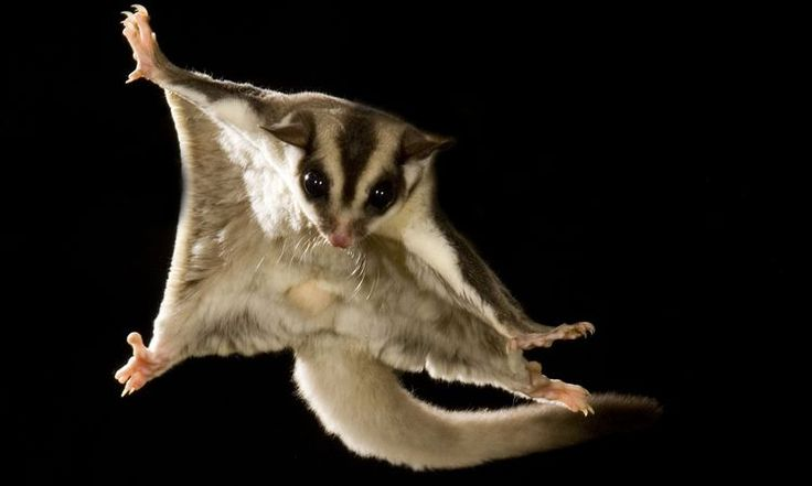 What Kinds of Diseases Can Sugar Gliders Get?