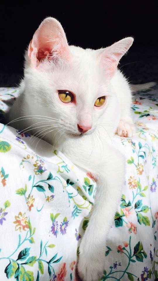 "The Khao Manee cat (Thai: ขาวมณี - meaning ""White Gem""), also known as the Diamond Eye cat, is a rare breed of cat originating in Thailand, which has an ancient ancestry tracing back hundreds of years. 