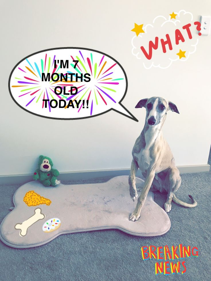 My baby is 7 months old today!  #whippet #puppy #dogs