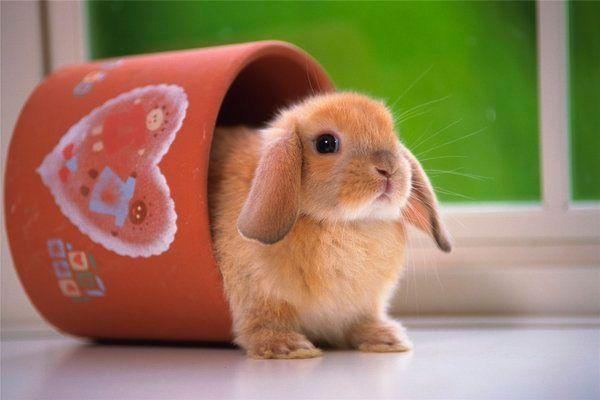 Уход за декоративным кроликом