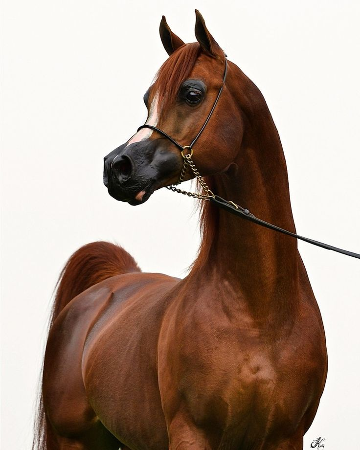 Enzo :: AHBA - Arabian Horse Breeders Alliance