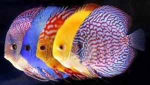 Info Ikan: 10 Jenis Ikan Hias Air Tawar Tercantik Untuk Akuar...