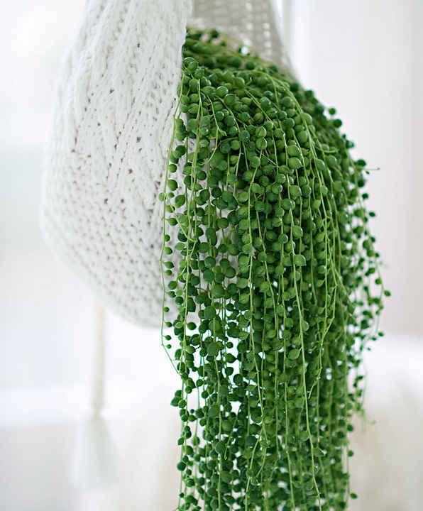 10 Plantes Retombantes d'Intérieur Indispensables à la Maison  Séneçon - Plante Collier de Perles