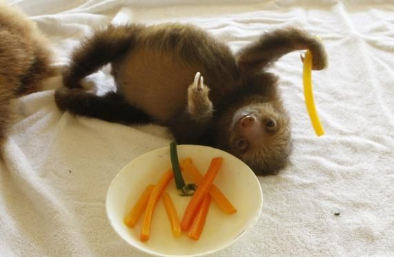 snack time for baby sloth