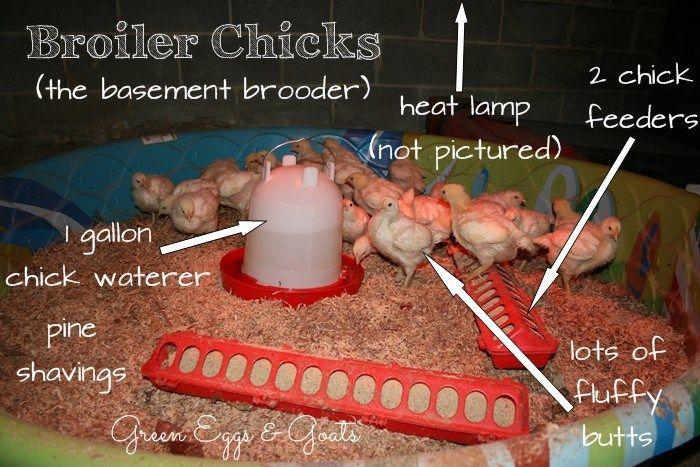 63 best chicken brooder images on pinterest for Swimming chicken