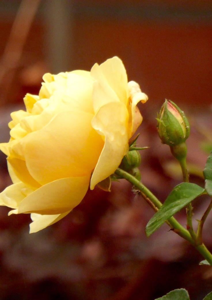 Love yellow roses .