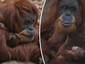 THIS is the moment a baby orangutan clung tightly to its mother blissfully unaware how it is helping the critically endangered ape hang on to existence.
