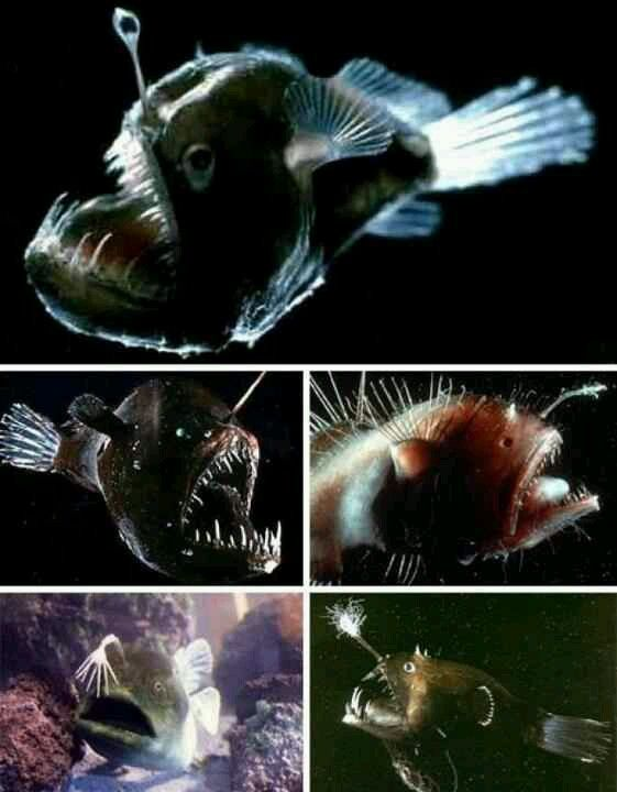 17 best images about deep sea fish on pinterest deep sea for Angler fish pet