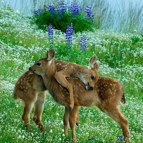 El venado de cola blanca, ciervo de cola blanca, ciervo de Virginia, venado de Virginia o venado gris es una especie de mamífero artiodáctilo de la familia de los cérvidos que se encuentra en diferentes tipos de bosques de América, desde los canadienses, en la región subártica, pasando por los bosques secos de las laderas montañosas de México, las selvas húmedas tropicales de América Central y del Sur, hasta los bosques secos ecuatoriales del norte del Perú y otras áreas boscosas…