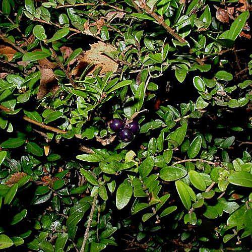 34 best plantes pour haie bas images on pinterest hedges for Plante 60 80
