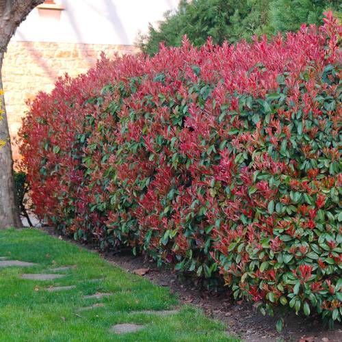Photinia fraseri Red Robin                                                                                                                                                                                 Mais