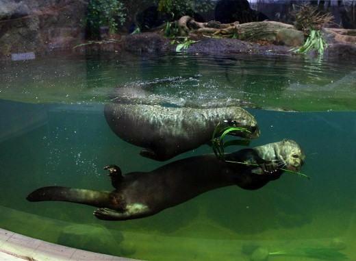 40 Best Capybara Otter Images On Pinterest
