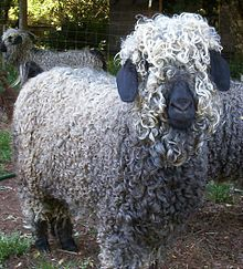 Mohair - Wikipedia, the free encyclopedia