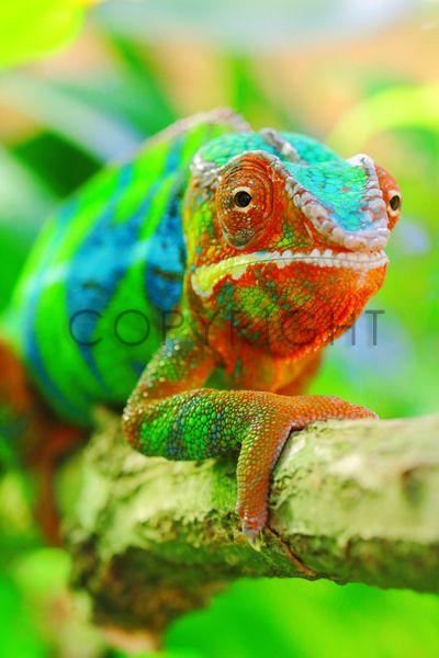 Bild auf Leinwand kaufen FineArtPrint 11566812 Mosert Stefan chamaeleon chamäleon leguanartige pantherchamaeleon pantherchamäleon reptil reptilien ...