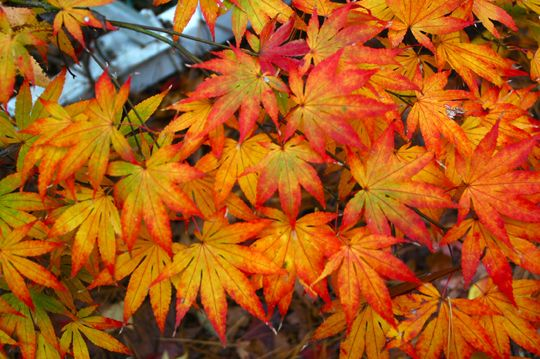 orange dream japanese maple 8 10 ft tall grows best in partial shade but does alright in full. Black Bedroom Furniture Sets. Home Design Ideas