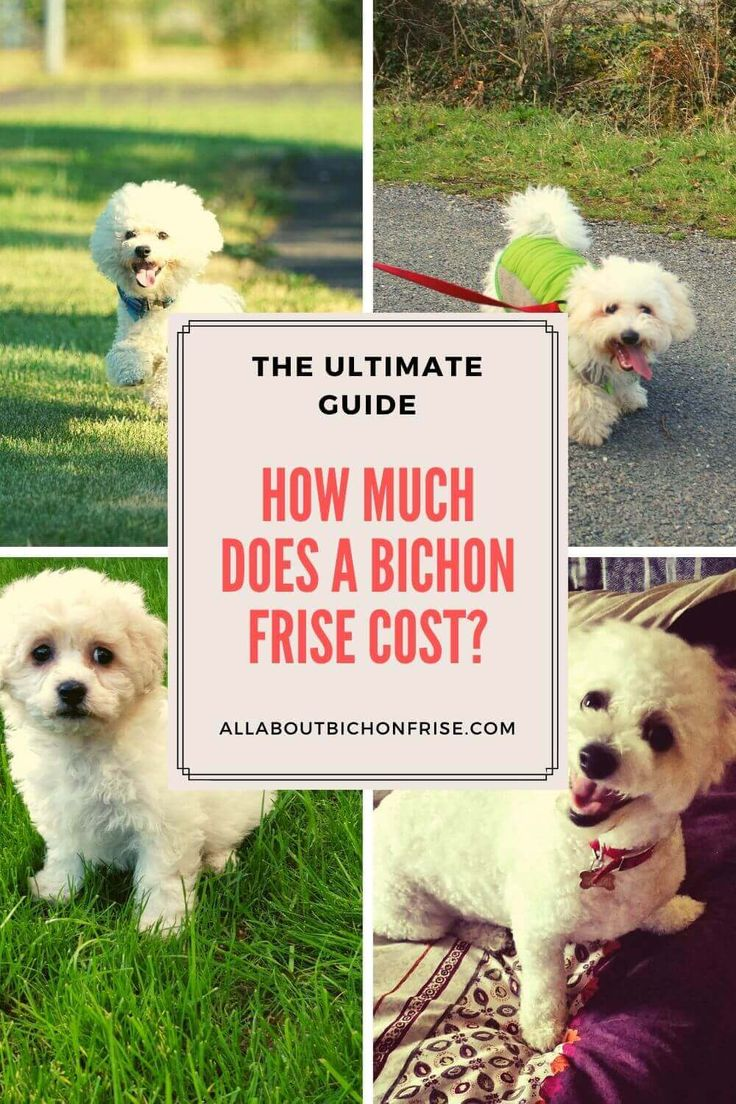 How much does a bichon frise cost the ultimate guide