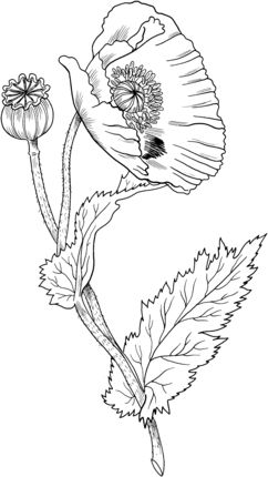 Click to see printable version of Opium Poppy coloring page
