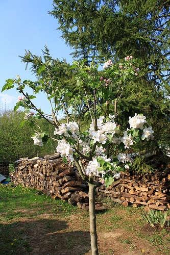 Starting an apple tree from seeds: Gardens Fun, Gardens Info, Apple Trees From Seeds Fi, Apples Treeeeeee Jpg, Growing Apples Trees, Trees Growing, Diy'S Gardens, Crafts, Brigadoon Gardens
