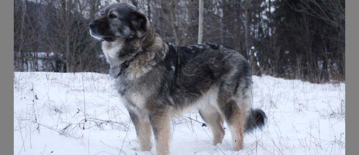 De #Karstherder ook wel de #Kraski Ovcar is voor een berghond relatief klein, maar desondanks is het een forse grote hond. Aangenomen wordt dat Karstherder nauw verwant is met een aantal andere in Zuidoost en Oost-Europa inheemse berghonden. van oorsprong werd dit ras gebruikt voor het beschermen van het vee en vandaag de dag wordt hij vaak gebruikt als waakhond. In Slovenië wordt deze rashond nog gebruikt als politiehond en bij de defensie.