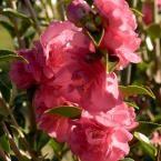 2.5 Qt. October Magic Rose Camellia