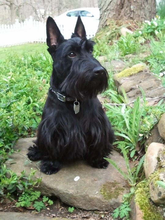 Beautiful Girl ~ very regal lass - My Grandfather, Foster Emil Stephenson, a descendant of Scots Irish Emmigrants to America, always had a Black Scottish Terrier much like this one.  The pictures are gone, but this one will do.