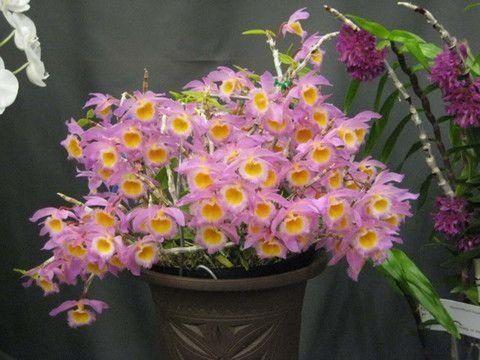 Orquídea Dendrobium loddigesii Rolfe - Jardim Exótico - O maior portal de mudas do Brasil.