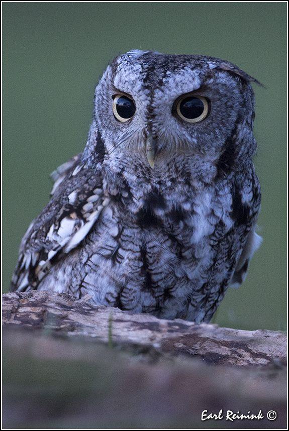Eastern Screech Owl   Birds of Prey   Pinterest   So cute ...