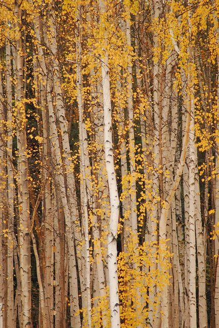 Autumn Birch Wall in Fairbanks, Alaska